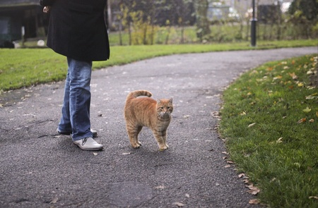 red tabby cat walking together with human companion photo