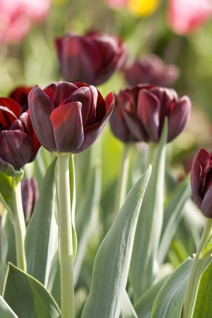 Dark red tulips in a tulip field in the Netherlands photo