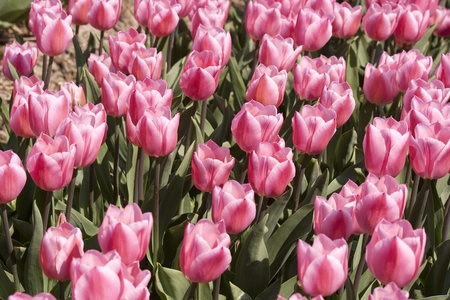 dozens: Dozens of pink tulips in a Dutch field Stock Photo