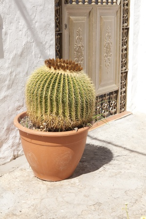 spikey: Cactus in pot  on a sunny day