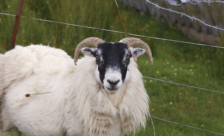 Sheep in front of barbed wire photo