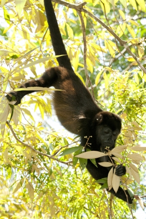 Small howler monkey in tree in rainforest of Costa Rica photo