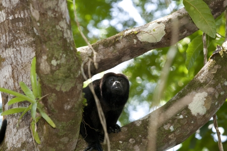 howler: Howler monkey on branch in forest
