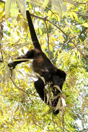 howler: Small howler monkey eating leafs in rainforest of Costa Rica