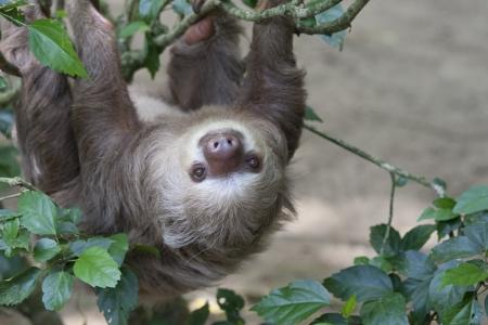 oso perezoso: Cerca de un Hoffmann Foto de archivo