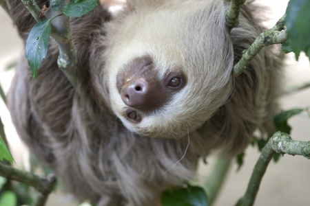 Close up of a two toed sloth hanging in tree photo