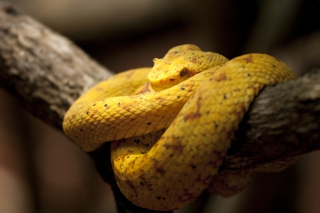Eyelash Viper (Bothriechis schlegelii) has hornlike scales over each eye. Poisonous.