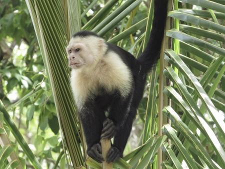 White faced monkey in  palm tree Standard-Bild