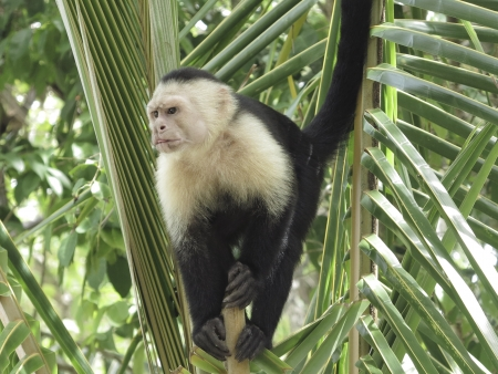 White faced monkey in  palm tree Stock Photo