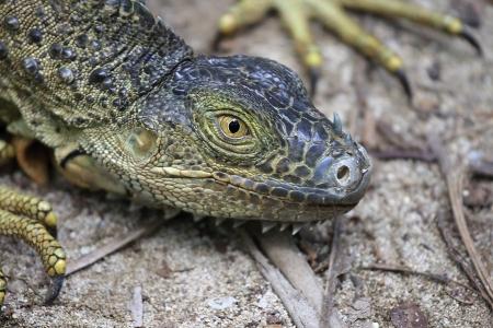 Close up of head of green iguana on the beach photo