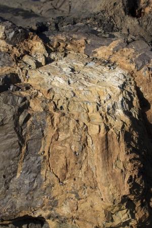 curio: Very ancient petrified tree trunk at Curio Bay