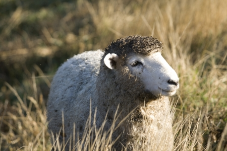 Dirty New Zealand sheep photo