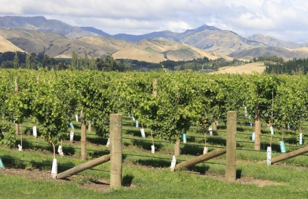 Vineyard in Marlborough in New Zealand photo