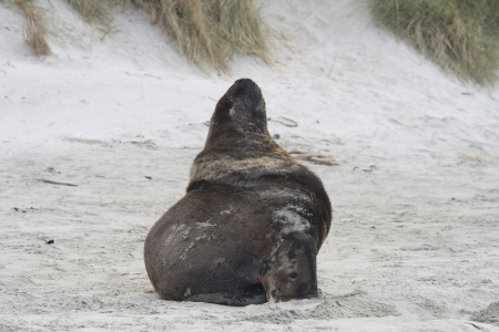 Huge sea lion sitting on beach in New Zealand Stock Photo - 14286882
