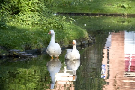 long neck: two white geese in pond with reflection of water  Stock Photo
