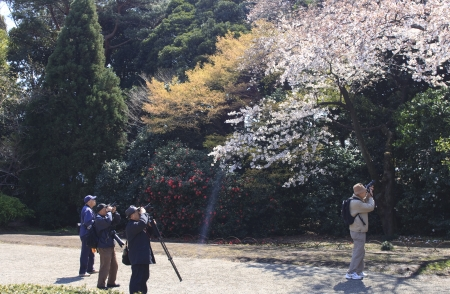 TOKYO, JAPAN - APRIL 2, 2009   Men photographing the cherry blossoms during cherry blossom celebration  called hanami  in  Tokyo park on April 2, 2009 in Tokyo, Japan