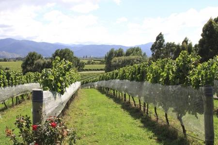 Rows of vines at green vineyard at Hawkes Bay in New zealand  photo
