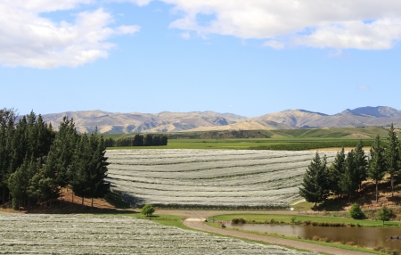 Vine plants protected against bird picking on vineyard in New zealand photo