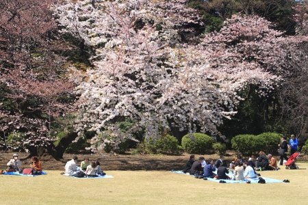 TOKYO, JAPAN - APRIL 2 2009  People eating and enjoying spring at the cherry blossom celebration  called hanami  at Tokyo park on April 5, 2009 in Tokyo, Japan