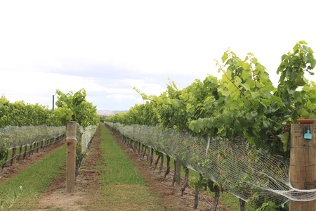 Vine plants in rows on a vineyard in Marlborough in New Zealand photo