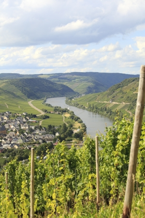Vineyard with riesling grapes with view on river Mosel photo