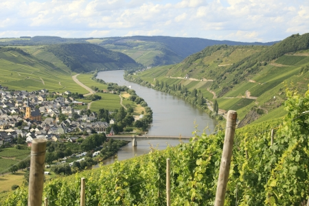 Vineyard with riesling grapes on Mosel river in Germany. Focus on foreground photo