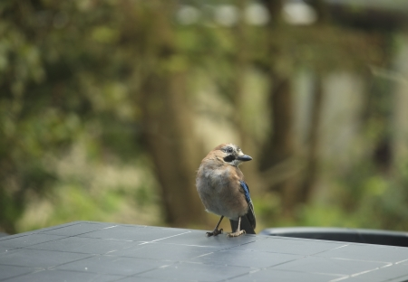 Jay bird ( Garrulus glandarius ) on a table in the garden Stock Photo - 15202189