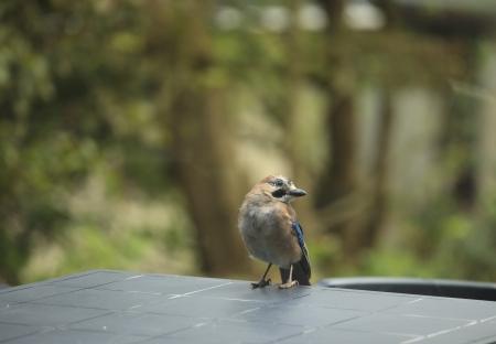 Jay bird ( Garrulus glandarius ) on a table in the garden Stock Photo - 15202189