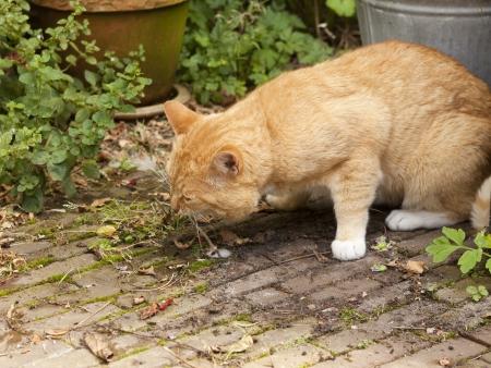 Red cat vomiting in garden Standard-Bild