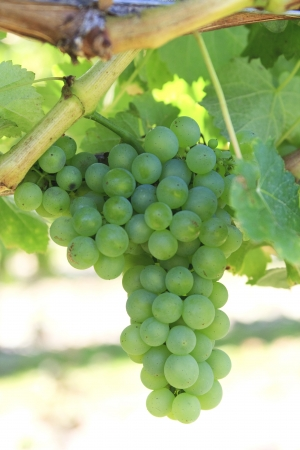 pinot grigio: Green grapes on a branch waiting for the pick