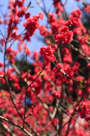 dogwood tree: Bright red cherry blossom in Japan Stock Photo