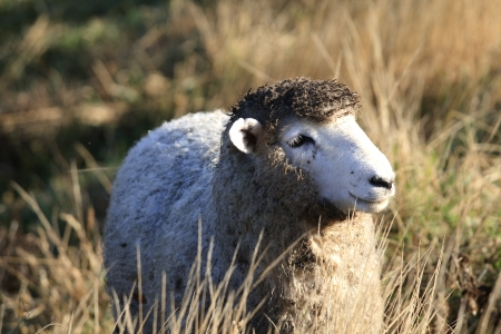 New Zealand sheep with dirty wool photo
