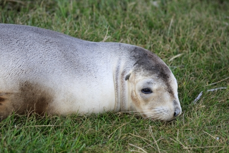 New Zealand fur seal lying on grass Stock Photo - 16188218