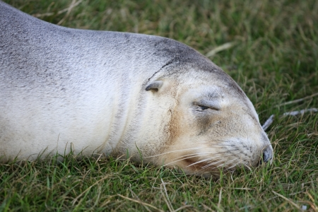 Close up of a New Zealand seal Stock Photo - 16188185