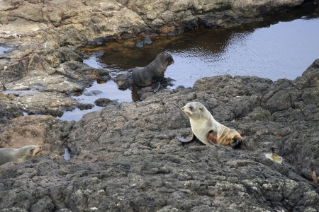 Fur seals near the water on the coast of New Zealand Stock Photo - 16188293