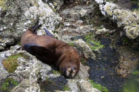 Fur seal lying on his back on the rocks in New Zealand Stock Photo - 16188296