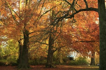 fagus grandifolia: Beautiful colorful trees in autumn Stock Photo