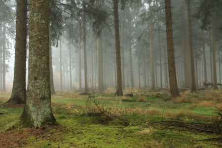 Foggy pine forest in the fall Stock Photo - 16562029