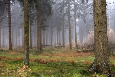 Beautiful pine forest on a foggy autumn day photo