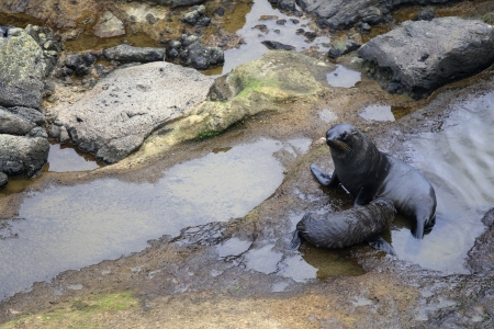 Two fur seals on the rocks in New Zealand photo