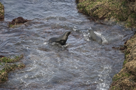 Two fur seals in the ocean in New Zealand Stock Photo - 16821351