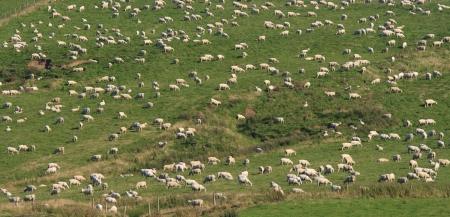 Abundance of sheep on a hill in New Zealand  photo