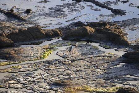 yellow eyed penguin: Small penguin walking on rocks