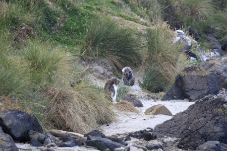 oamaru: Two rare yellow eyed penguins molting on the beach. Very rare penguin species and only to be found on the coast of the South Island of New Zealand