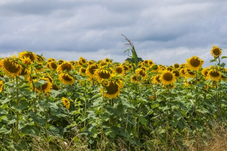 Sunflowers in a field with dark sky Stock Photo - 17964322