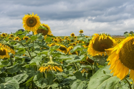 Sunflowers  in sun and  bad weather Stock Photo - 17964292