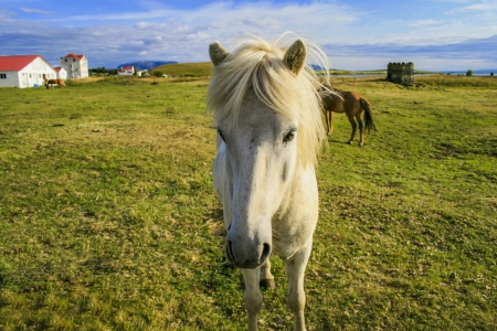 Beautiful white pony in Iceland photo
