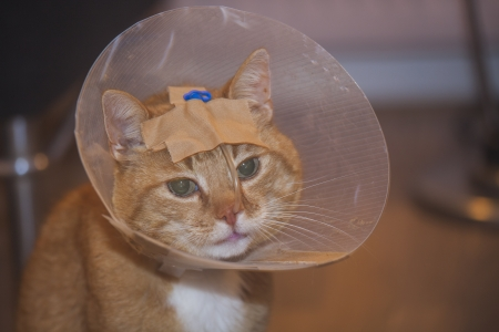 intravenously: Ill red cat in a cone with and tube