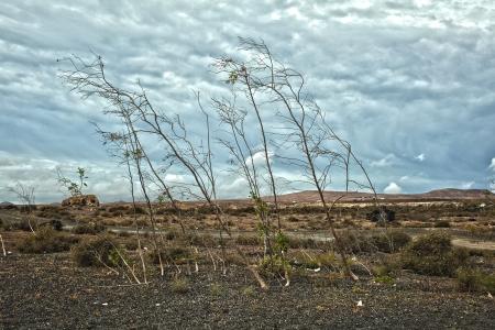 plantas del desierto: Plantas dobladas por el viento sobre un suelo de lava Foto de archivo