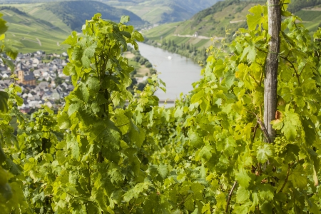 mosel: Famous Mosel vineyard with view on river Mosel in background Stock Photo